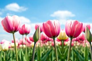 Wunderschöne Blumen im Keukenhof in Holland bestaunen - mit einer Busreise von Continentbus.